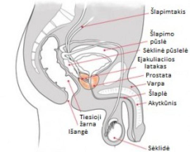 Penis gali padideti Vaikinai savo varpos dydi