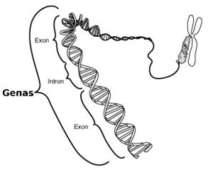 Gene yra atsakinga uz nario dydi