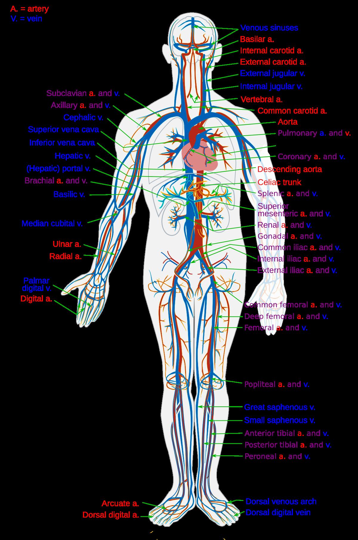 Kaip padidinti kraujo tekejima i nari