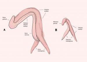 Ar zmogaus orgazmas priklauso nuo nario dydzio Galbut narys sumazeja dydzio ir