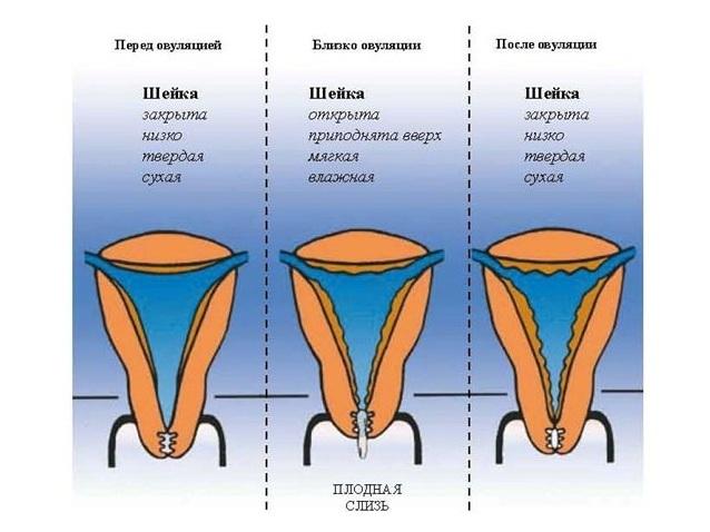 Dideliu genitaliju nariu dydziai Padidinti organu nari