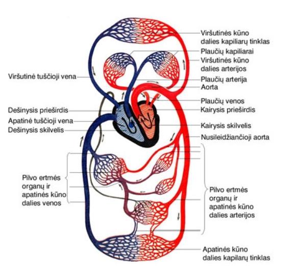 Nario dydzio kraujas Purkstukas, skirtas padidinti nario storis